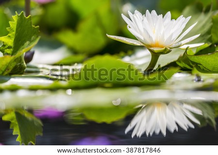 beautiful waterlily or lotus flower - stock photo