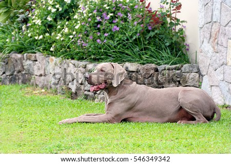 Beautiful Weimaraner male dog laying down on green grass in a house garden