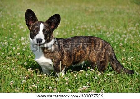 beautiful Welsh Cardigan Corgi dog - stock photo
