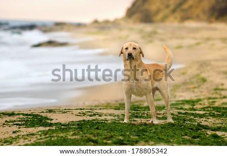 beautiful wet Labrador Retriever dog on a deserted beach with algae - stock photo