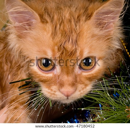 Beautiful wet red kitten playing in a Christmas tree - stock photo