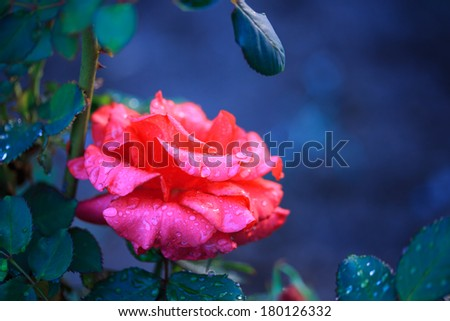 Beautiful wet rose flower covered in water drops. Macro closeup, shallow DOF. - stock photo