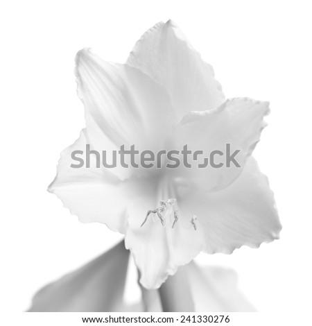 Beautiful white amaryllis flower bloom isolated on white background. - stock photo