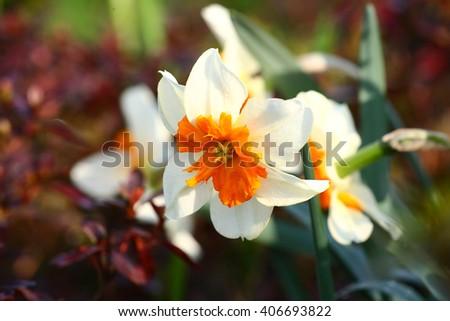 Beautiful white and orange flower narcissus. - stock photo