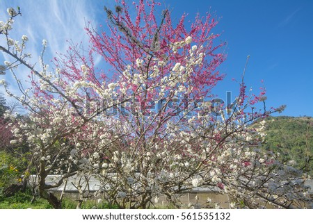Beautiful white and pink blossoms of cherry plum's flower.