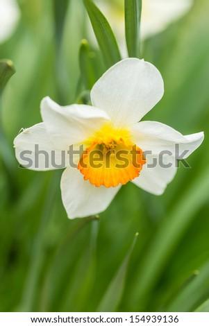 Beautiful white and yellow Daffodil (Narcissus Tazetta) on green background - stock photo