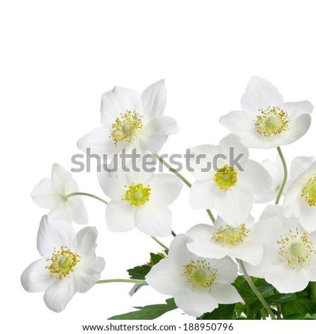 Beautiful white anemones flowers isolated on white - stock photo