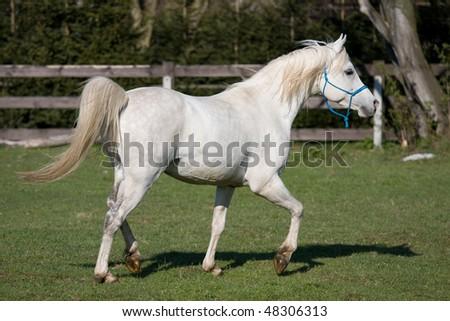 Beautiful white arabian running on pasture - stock photo