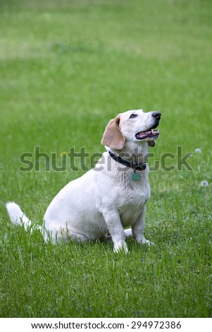 Beautiful white Bassett Hound mix breed dog outside in green grass - stock photo