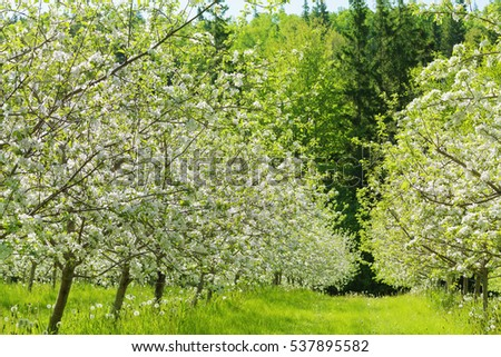 Beautiful white blossom of apple trees in a farm commercial apple orchard in springtime.  Inspired by the 2017 color of the year, greenery.