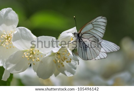 beautiful white butterfly sitting on a jasmine flowers - stock photo
