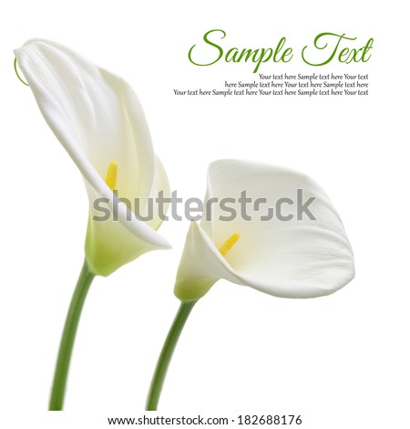 Beautiful white Calla lilies isolated on white background - stock photo
