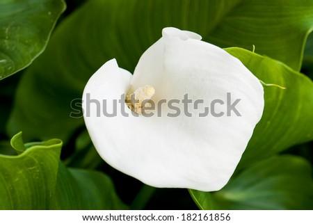 Beautiful white calla lily flower (zantedeschia) in the garden. - stock photo