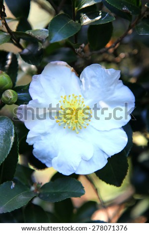 Beautiful white Camellia flower surrounded by green leaves - stock photo