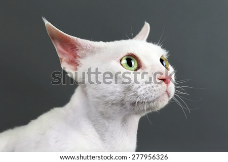Beautiful white cat on gray background