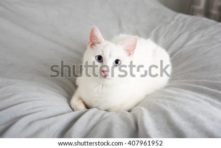 Beautiful White Cat Relaxing on Gray Plush Blanket - stock photo