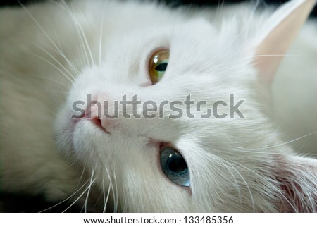 beautiful white cat with different color of eyes. close up - stock photo
