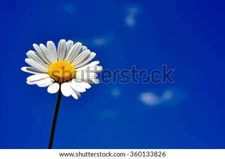 Beautiful white chamomile flower on a blue background