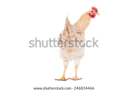 Beautiful white chicken on the white background - stock photo
