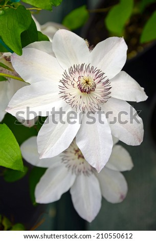 Beautiful white clematis flowers in bloom - stock photo