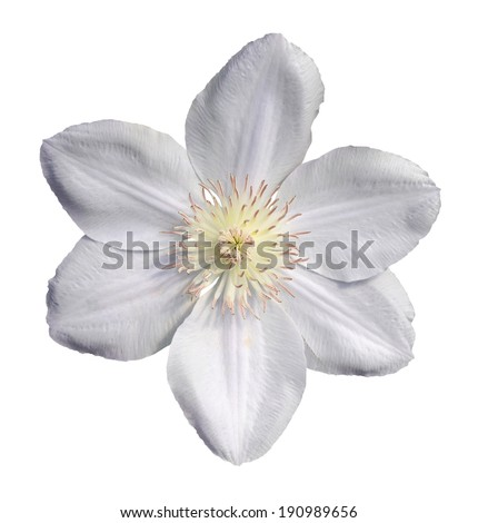 beautiful white clematis isolated on white  - stock photo