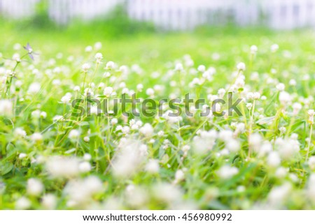 Beautiful white clover flowers in spring and green grass. - Soft focus