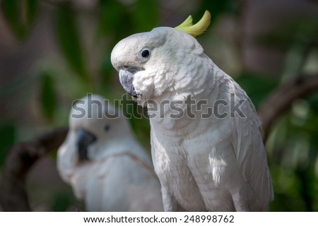 Beautiful white Cockatoo, Sulphur-crested Cockatoo (Cacatua galerita) - stock photo