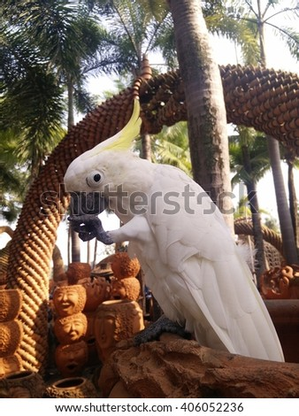 Beautiful white Cockatoo, Sulphur crested Cockatoo, Lift one leg - stock photo