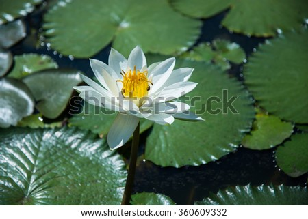 Beautiful white color waterlily or lotus flower in pond - stock photo