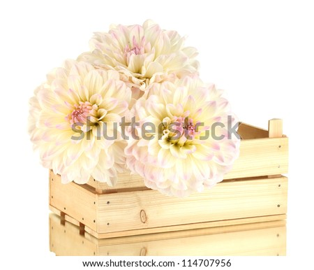 Beautiful white dahlias in wooden box isolated on white