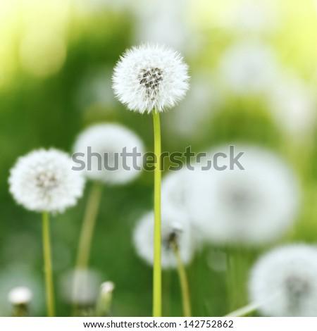 Beautiful white dandelion flowers closeup stock photo royalty free beautiful white dandelion flowers close up mightylinksfo Images