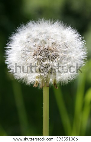 Beautiful white dandelion flowers close-up. Dandelion flower with fluff, macro photo on bright green background - stock photo