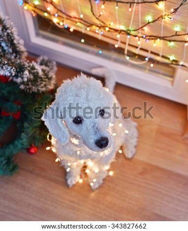 Beautiful white dog posing with Christmas lights - stock photo