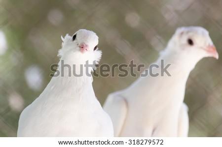 beautiful white dove in nature - stock photo