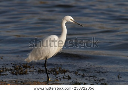 Beautiful white egret fishing on the border of Douro river, north of Portugal.  - stock photo