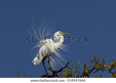 Beautiful white Egret with breeding plumage sitting in the tops of a tree with blue sky behind.