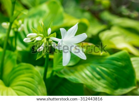 beautiful white flower blooming in the summer Hosta - stock photo