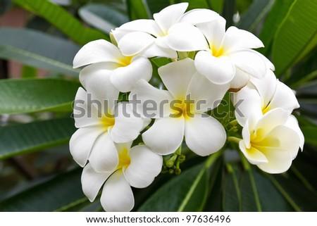 Beautiful white flower in thailand, Lan thom flower - stock photo