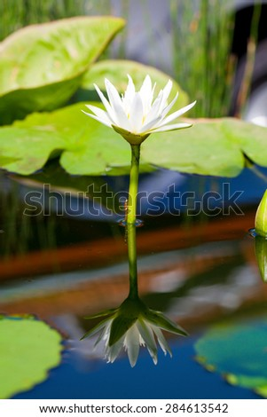 Beautiful white flower lily lotus floating on water with reflection