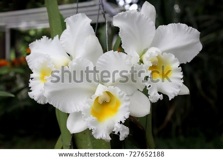 Beautiful white flower yellow lips orchid stock photo royalty free beautiful white flower with yellow lips orchid name catleya queen sirikit from thailand mightylinksfo
