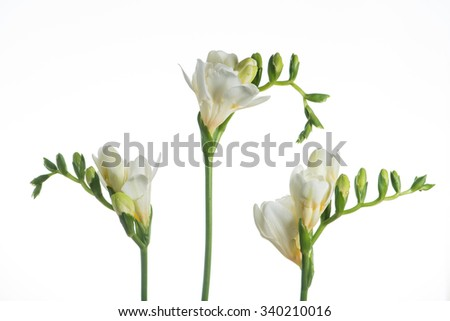 Beautiful white freesia flower close-up, isolated on white - stock photo