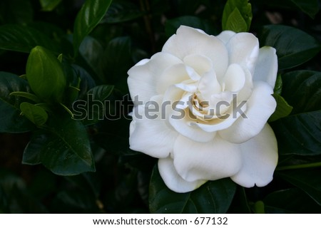Beautiful white gardenia flower on shrub - stock photo