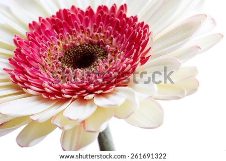 Beautiful white gerber flower with pink isolated on white background - stock photo