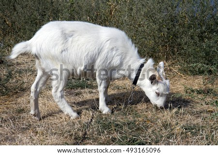 Beautiful white goat grazing in a meadow