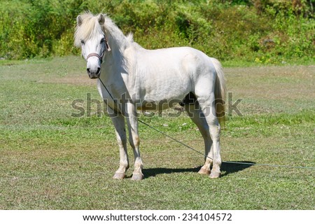 beautiful white horse feeding in a green pasture ,big white horse stands on the green grass field on a background gray sky
