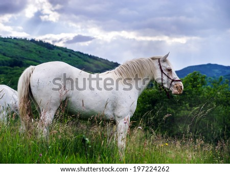 Beautiful white horse in a farm, fields of Alsace