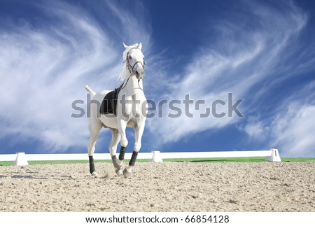 Beautiful white horse in sand arena
