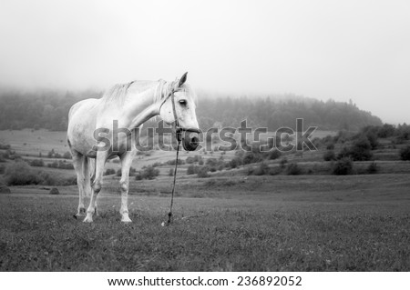 Beautiful white horse on the meadow in a foggy day in black and white - stock photo