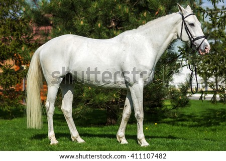 Beautiful white horse portrait at the pasture against greenery  - stock photo