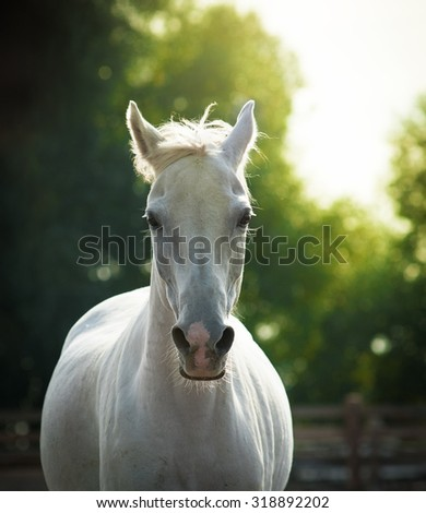 beautiful white horse portrait in summer - stock photo